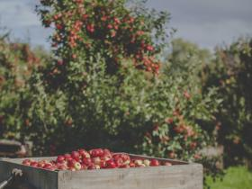 Freshly picked apples in a Hawke's Bay orchard