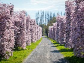 Springtime in the orchards of Hawke's Bay