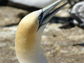 Gannets private tour