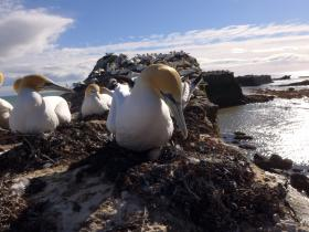 View these gannets from your trailer seat!