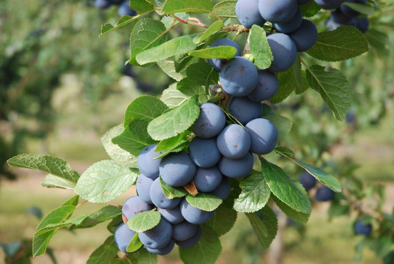 Damson Collection Plums