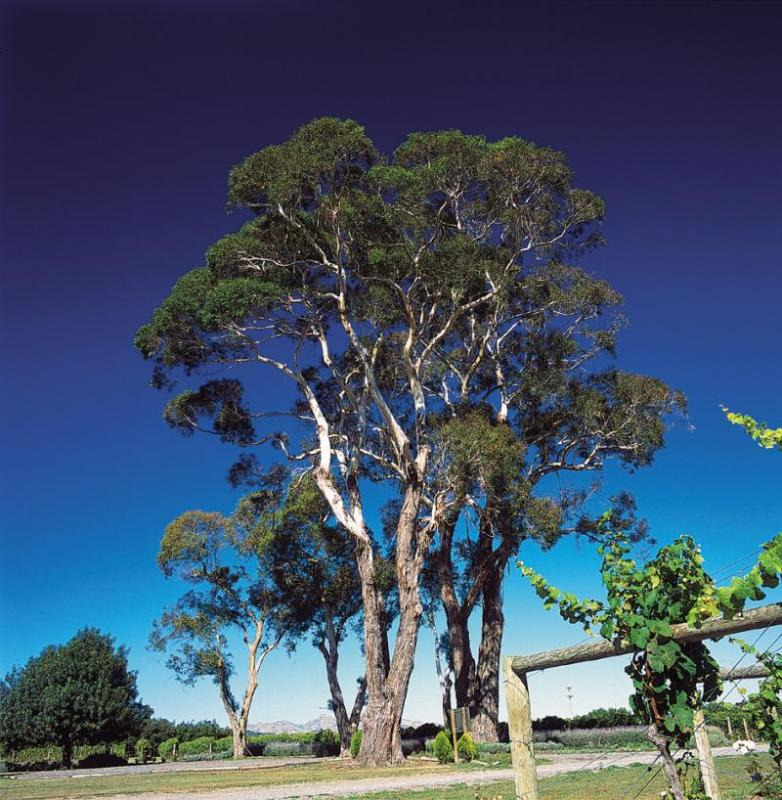 Askerne Winery Trees